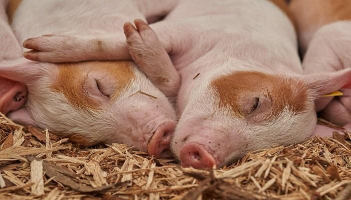 Explotaciones porcinas: cómo gestionar la salud en las instalaciones
