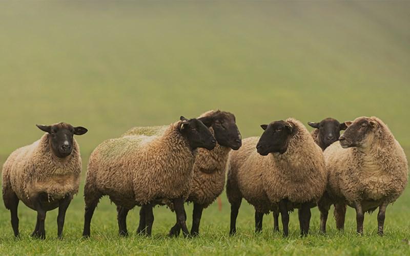 sheeps, goats